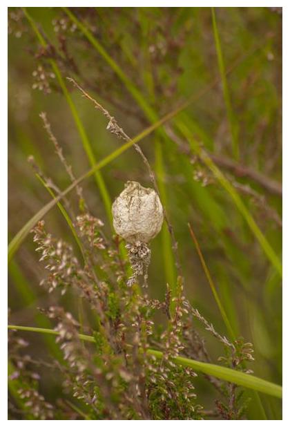 foto's, Tijgerspin, Wielwebspin of Wespspin (Argiope bruennichi), ei cocon, spin