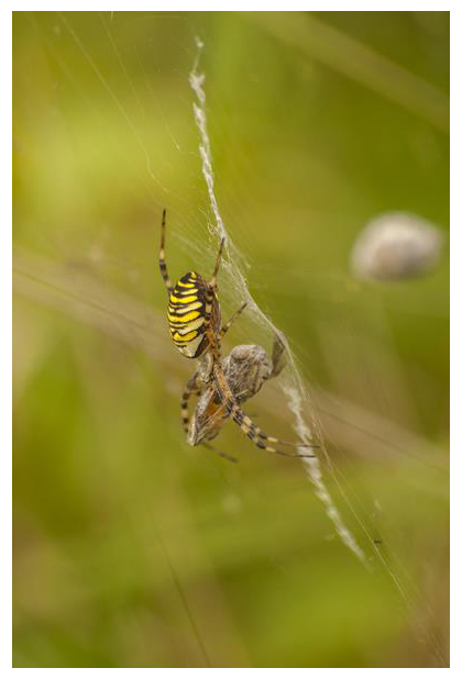 foto's, Tijgerspin, Wielwebspin of Wespspin (Argiope bruennichi), spin