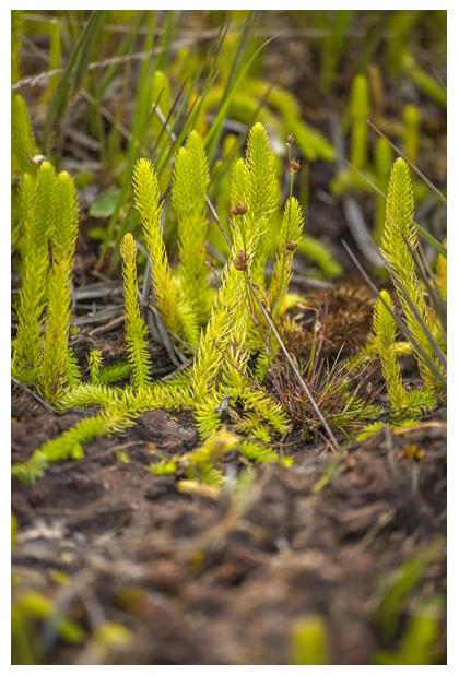 foto, Moeraswolfsklauw (Lycopodiella inundata), plant