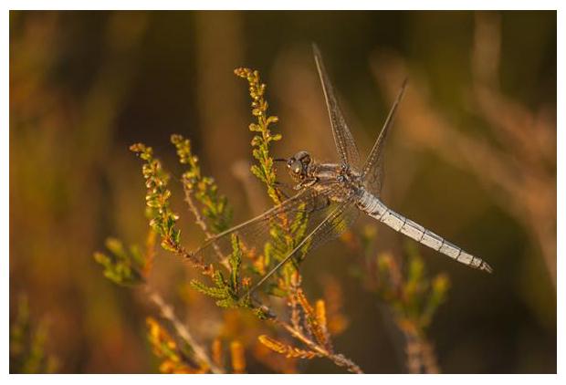 foto's, Beekoeverlibel (Orthetrum coerulescens), libel