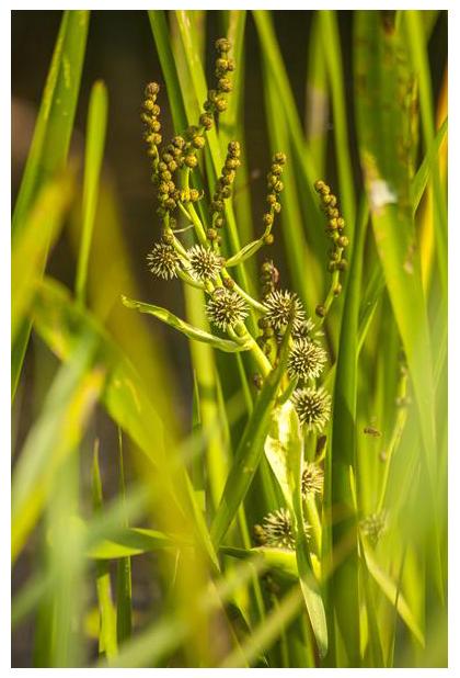 foto's, Grote egelskop (Sparganium erectum), waterplant