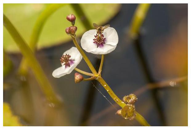 foto´s, Pijlkruid (Sagittaria sagittifolia), waterplant