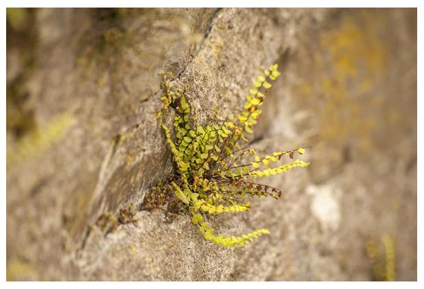 foto's, Steenbreekvaren (Asplenium trichomanes), plant