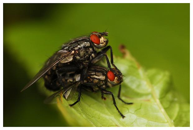 foto's, familie Dambordvliegen (Sarcophagidae), vlieg