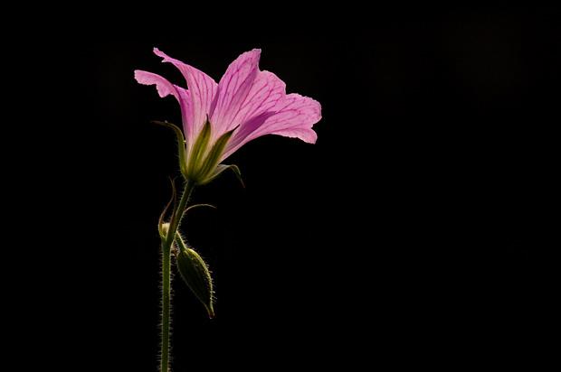foto's, Roze ooievaarsbek (Geranium endressii)