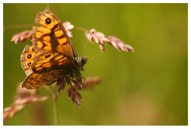 foto's, Argusvlinder (Lasiommata megera), vlinder
