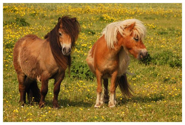 paard, paarden, paardenfotos, paardenfoto´s, pony, pony´s, ponyfotos, ponyfoto´s, shetlander, shetlanders, shetlanderfotos, dier, dieren, dierenfotos, dierenfoto´s, lastdier, zoogdier, zoogdieren, plaatjes met een pony in de wei, weide, weiden