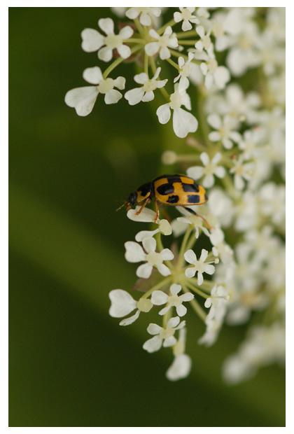 foto's, Veertienstippelig (Propylea quaotordecimpunctata), kever