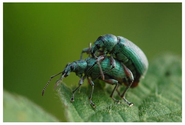 groene bladsnuitkever (phyllobius pomaceus ), bladsnuitkeverfoto´s, snuitkeverfoto´s, snuitkever,  snuitkevertje, snuikevertjes, kever, kevers, keverfoto´s, kevertje, kevertjes, tor, torren, torretjes, insect, insecten, insekt, insekten