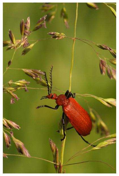 foto's, diverse verschillende soorten Vuurkevers (Pyrochroidae), kever