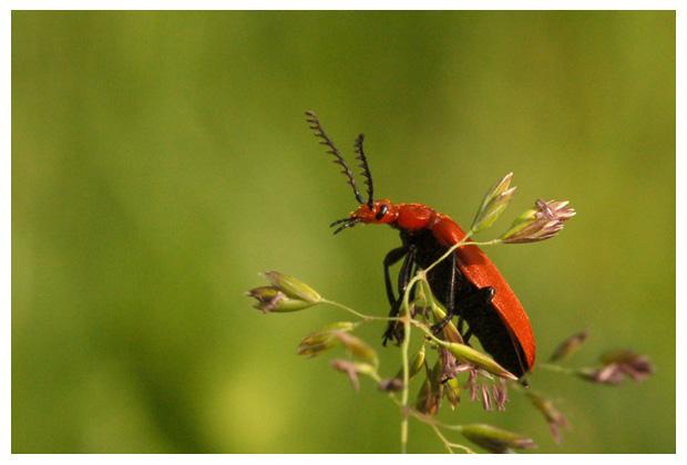 roodkopvuurkever ( pyrochroa serraticornis ), roodkopvuurkevers, roodkopvuurkeverfoto´s, rode, rood kop, roodkop, vuurkever, vuurkevertje, kever, kevers, kevertje, kevertjes, keverfoto´s, tor, torren, torretje, torretjes, insect, insecten, insekt, insekten,  insectenfoto´s, insektenfoto´s