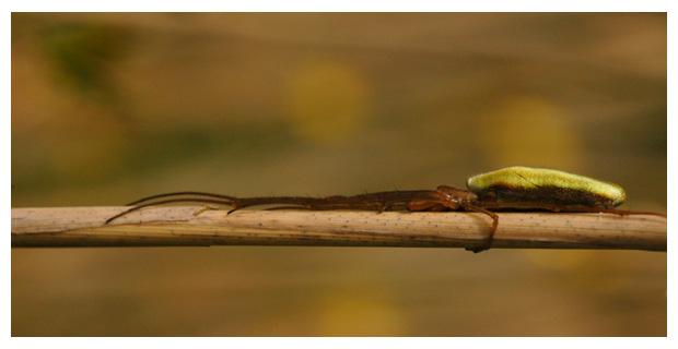 foto's, Gewone strekspin (Etragnatha extensa), spin