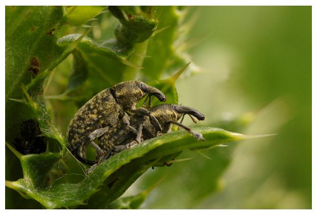 (larinus planus), snuitkeverfoto´s, snuitkever, snuitkevers, snuitkevertje, snuitkevertjes, kever, kevers, kevertje, kevertjes, keverfoto´s, tor, torren, torretje, torretjes, insect, insecten, insekt, insekten, insectenfoto´s, insektenfoto´s, paar, paartje, keverpaartje