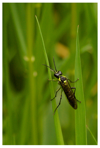 groene bladwesp  (rhogogaster viridis), bladwespen, bladwespfoto´s, blad wesp, wespen, wespenfoto´s, insect, insecten, insekt, insekten