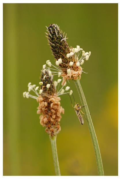 smalle weegbree (plantago lanceolata), weegbreefamilie (plantaginaceae), witte helmknopje, overblijvende, niet giftig