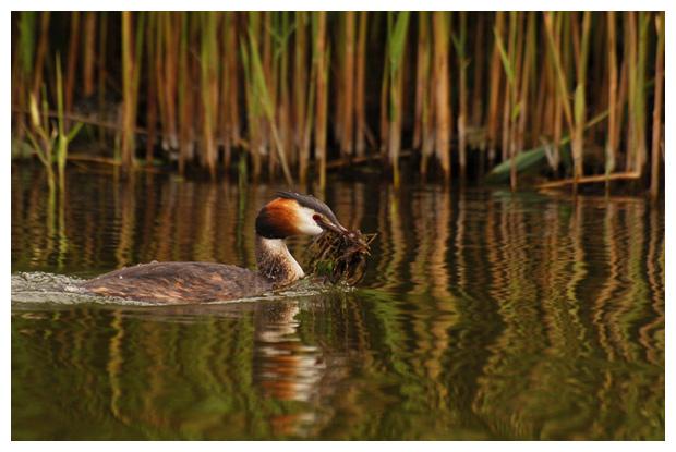 fuut (podiceps cristatus), futen, fuutje, futenfoto´s, vogel, vogels, vogelfotos, vogelfoto´s, watervogel, watervogels, watervogelfoto´s