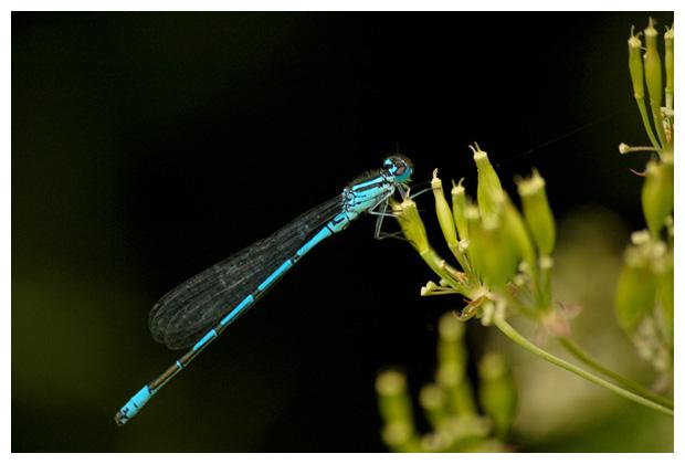 azuurjuffer (coenagrion puella),  azuurjufferfoto´s, juffer, juffers, juffertje, waterjuffer, waterjuffers, waterjuffer´s, waterjufferfoto´s, insect, insecten, insekten, insekten