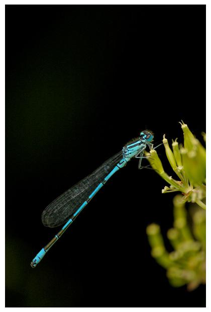 foto's, Azuurjuffer (Coenagrion puella), waterjuffer