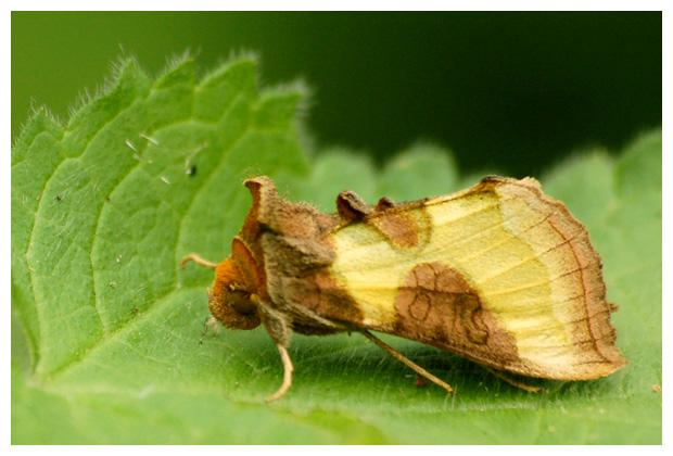 foto's, diverse soorten, verschillende, nachtvlinder, nachtvlinders