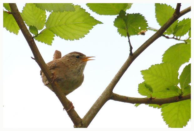 foto's, Winterkoning Troglodytes troglodytes), vogel