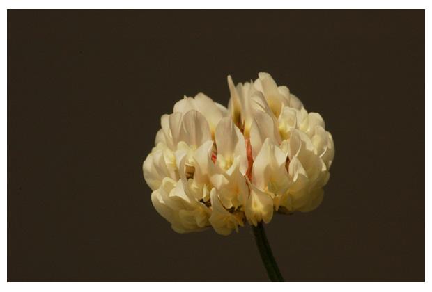 witte klaver (trifolium repens), vlinderbloemenfamilie (fabaceae), witte, voederplant