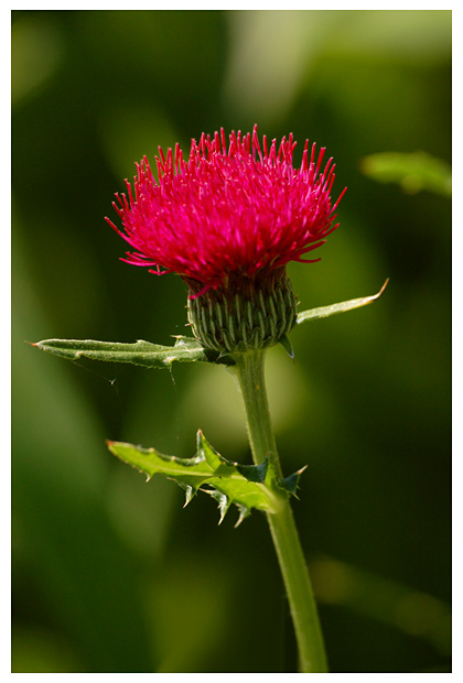 foto, Vederdistel (Cirsium japonicum), plant