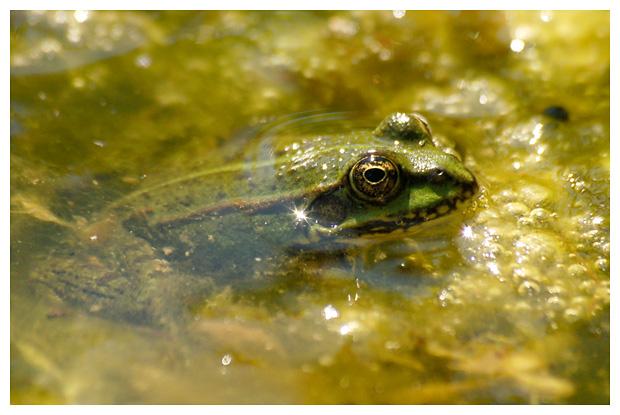 foto´s, Groene kikker (Rana ridibunda)