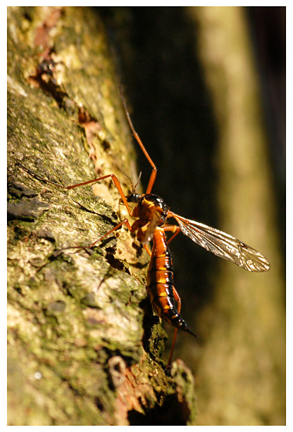 langpootmug (nephrotoma appendiculata), langpootmuggen, langpootmugje, mug, muggen, mugje, mugjes, muggenfoto´s, muggenfotos, insect, insecten, insekt, insekten