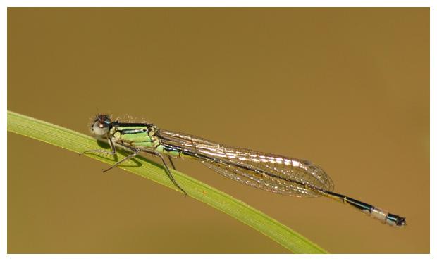 foto's, Lantaarntje (Ischnura elegans), waterjuffer