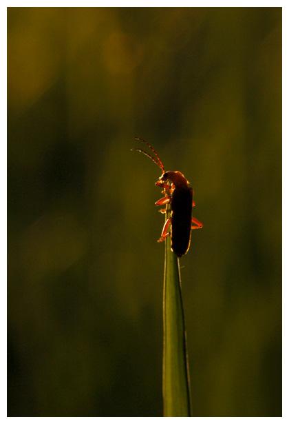 foto's, diverse verschillende soorten Weekschildkevers (Cantharidae), kever