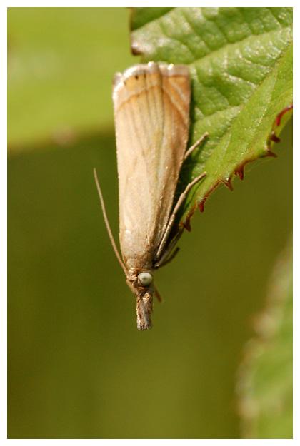 foto's, Gewone grasmot (Chrysoteuchia culmella), nachtvlinder