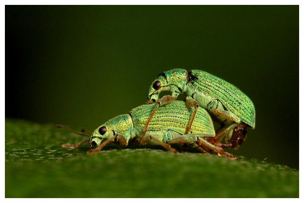 groene bladsnuitkever (phyllobius pomaceus )