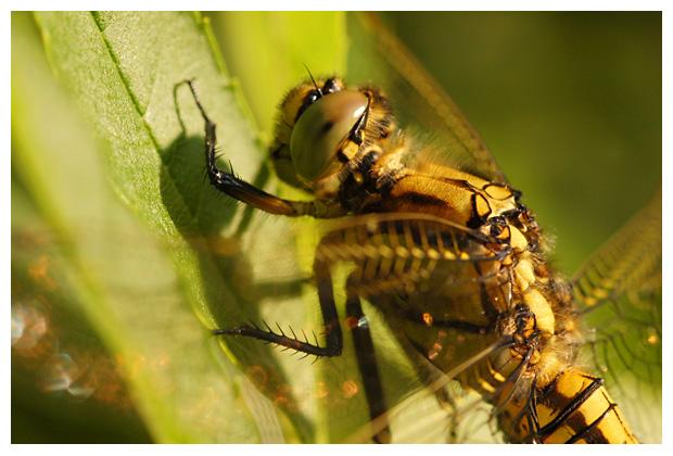 foto's, diverse soorten, verschillende, libel, libellen, juffer