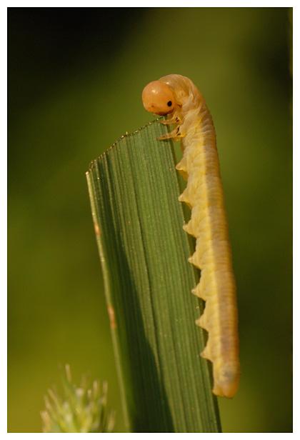 larve bladwesp of zaagwesp