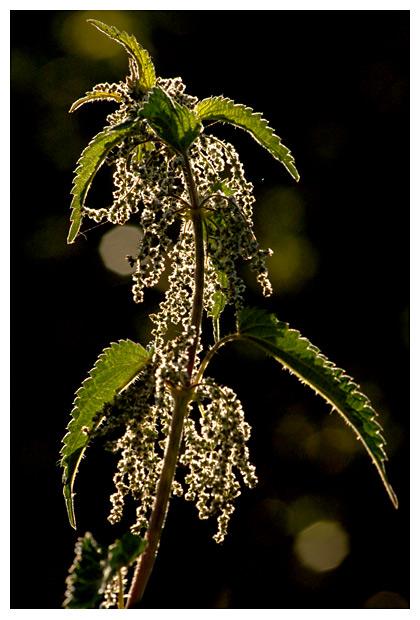 foto's, Grote brandnetel (Urtica dioica), plant