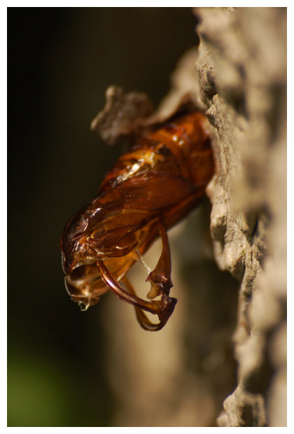 hoornaarvlinder (sesia apiformis), hoornaarvlinders, hoornaarvlindertje, hoornaarvlindertjes, hoornaarsvlinder, hoornaarsvlinders, hoornaarsvlindertje, hoornaarsvlindertjes, horzelvlinder, horzelvlinders, horzelvlindertje, horzelvlindertjes, wespvlinder, wespvlinders, wespvlindertje, wespvlindertjes, familie wesp- of glasvlinders (sesiidae), vlinder, vlinders, vlindertje, vlindertjes, vlinderfotos, vlinderfoto´s, vlinderfoto's, nachtvlinder, nachtvlinders, nachtvlinderfoto´s, nachtvlinderfotos, mot, motten, motje, motjes, insect, insecten, insekt, insekten, mimicry