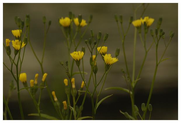 akkerkool (lapsana communis), (asterales), composietenfamilie (asteraceae), gele