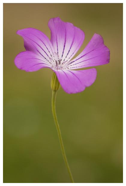 foto's, Bolderik (Agrostemma githago), plant