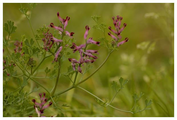 Gewone duivekervel (Fumaria officinalis), (ranunculales), duivenkervelfamilie (fumariaceae), eenjarig, kruidachtig