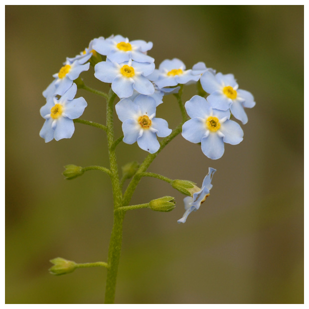 foto's, Bosvergeet-mij-nietje (Myosotis silvatica), plant