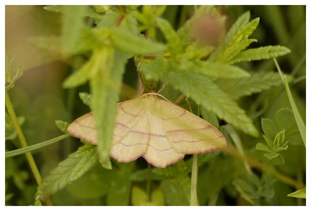foto's, Paarsbandspanner (rhodostrophia vibicaria), nachtvlinder