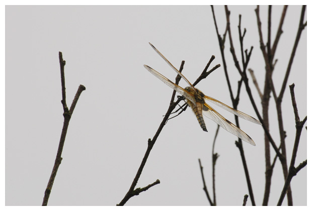 viervlek (libellula quadrimaculata), viervleken, viervlekje, viervlekjes, (odonata)echte libellen (anisoptera), korenbouten (libellulidae), libel, libellen, libelfoto´s, libelfoto's, libelfotos, libellenfoto´s, libellenfoto's, libellenfotos, libelle, insect, insecten, insekten, insekten
