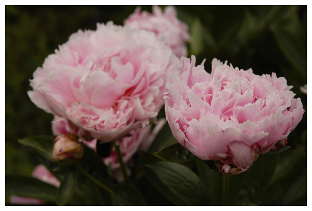 foto's, Pioenroos (Paeonia), plant
