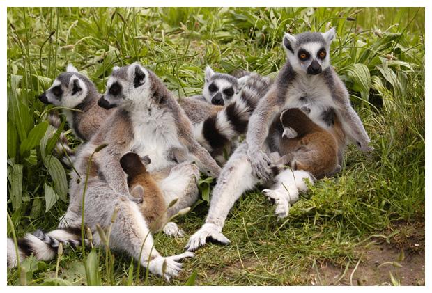 foto´s, diverse soorten, verschillende Lemuren of Maki's, dier