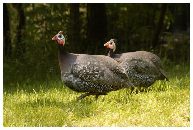 foto's, Helmparelhoender (Numida meleagris), vogel