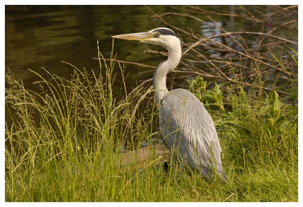 foto's, Blauwe reiger (Ardea cinerea), vogel