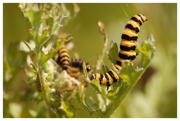 foto's, Sint-jacobsvlinder (Tyria jacobaeae), rups