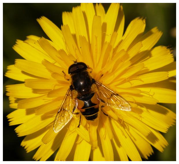 foto's, Gewoon biggenkruid (Hypochaeris radicata), plant