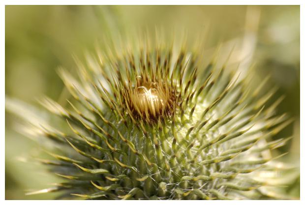 foto's, Speerdistel (Cirsium vulgare), distel