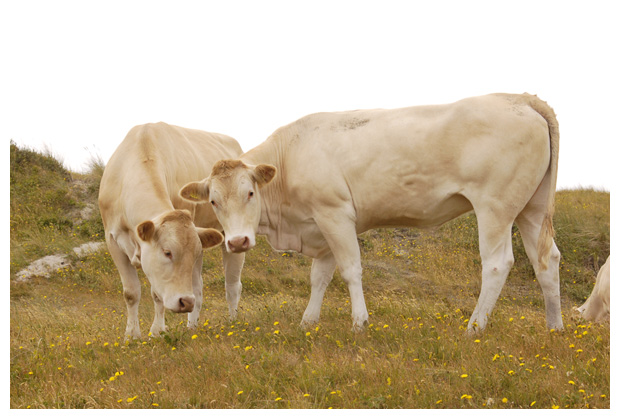 foto´s Blonde d'Aquitaine, koe, koeien